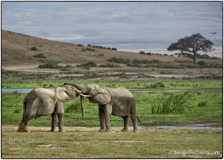 The goal is not to change your subjects, but for the subject to change the photographer. ~Author Unknown  African Elephants (Amboseli National Park, Kenya)