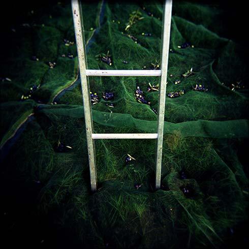 Olive Harvest Ladder