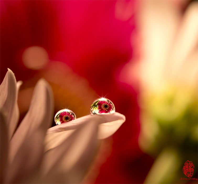 Photograph Gerbera by Ming Gullo on 500px