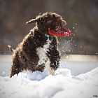 Lagotto playing