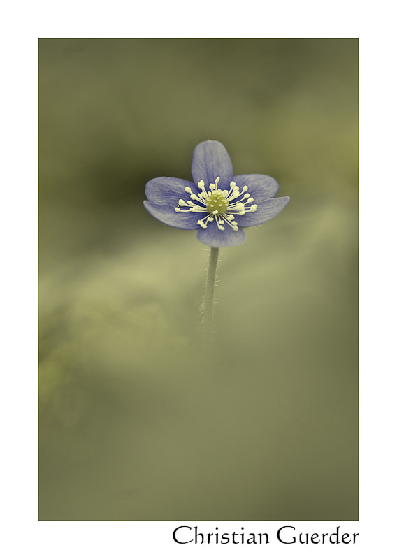 Photograph Hepatica nobilis by CHRISTIAN GUERDER on 500px
