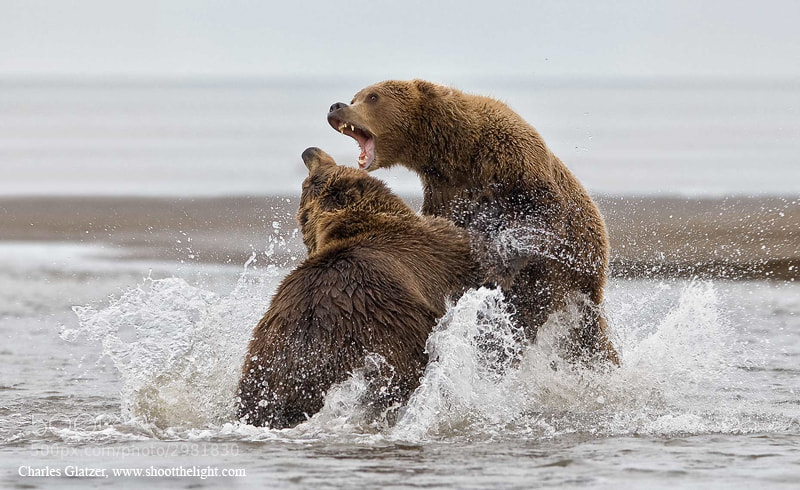 Photograph Coastal brown bears fighting  by Charles Glatzer on 500px