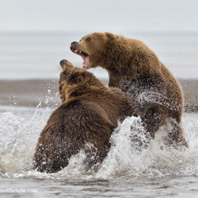 Coastal brown bears fighting  by Charles Glatzer (Chas)) on 500px.com