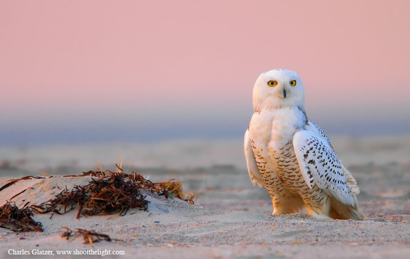 Photograph Snowy owl at sunrise by Charles Glatzer on 500px