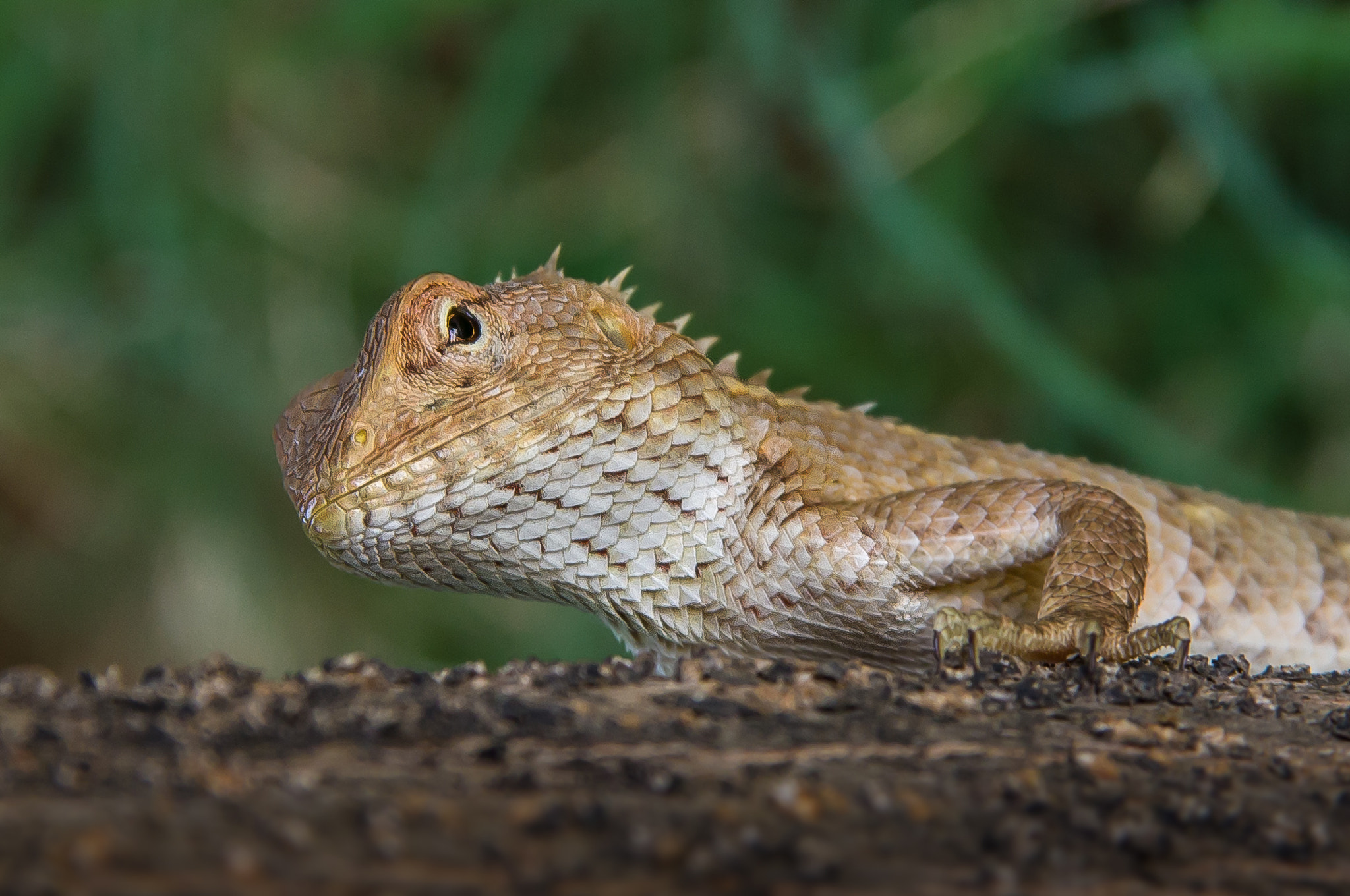 Photograph Garden Lizard by Jinesh Udani on 500px