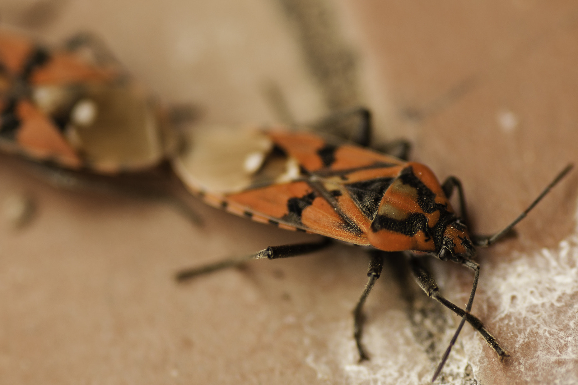 Photograph Pyrrhocoris apterus... in love by Daniele Sangiorgio on 500px