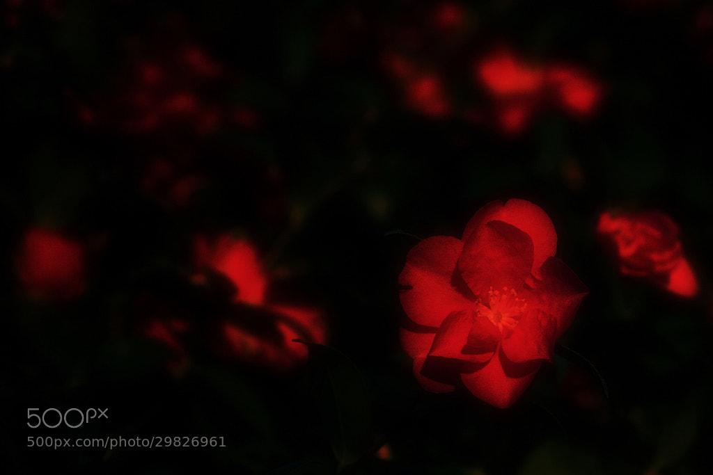Photograph Princess Camellia by macaron* macaron* on 500px