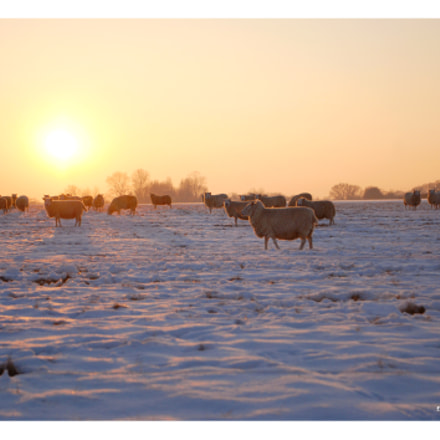 Sheepish Sunset