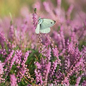 Small White butterfly by Marek Mierzejewski www.butterfly-photos.org (marek2)) on 500px.com