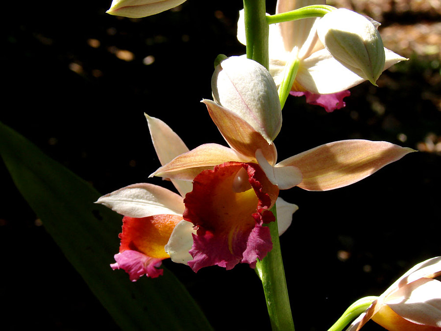 nun's orchid