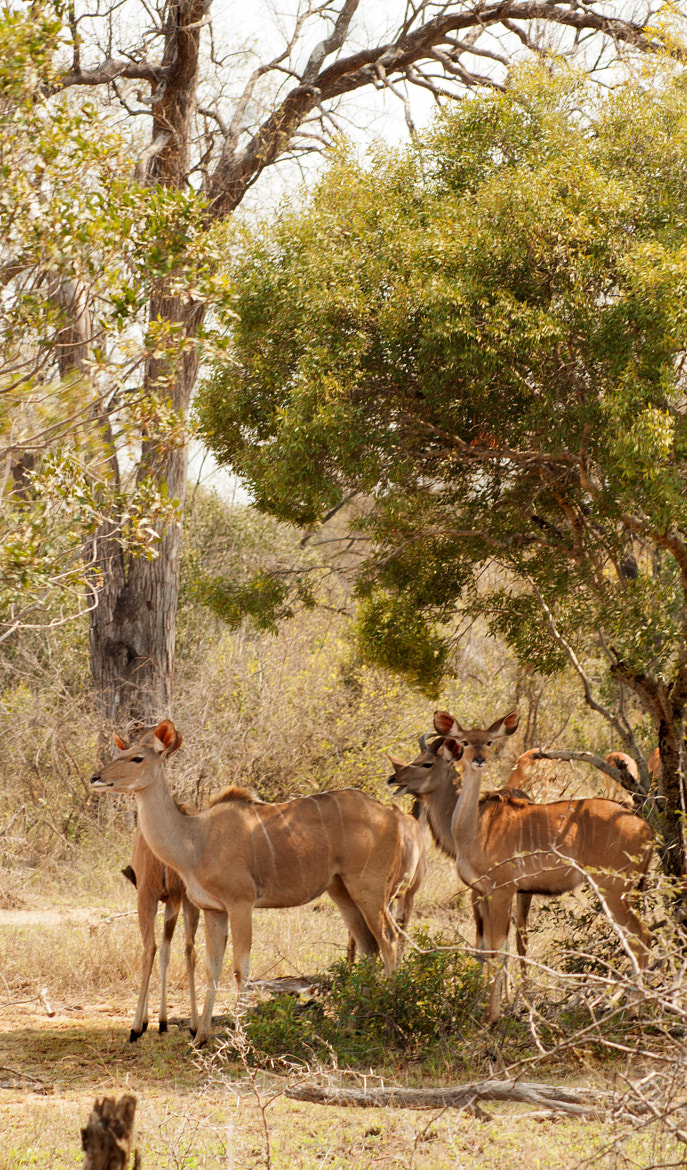 Photograph Kudu  by Nelis Nienaber on 500px