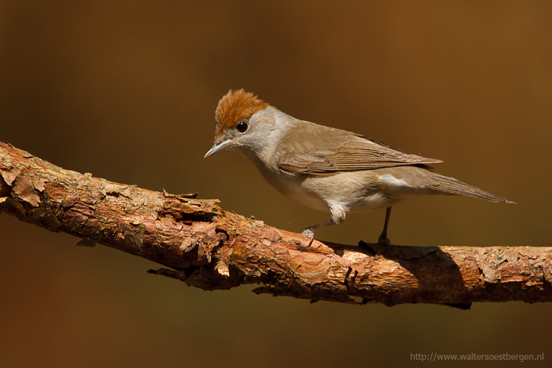 Photograph Blackcap by Walter Soestbergen on 500px