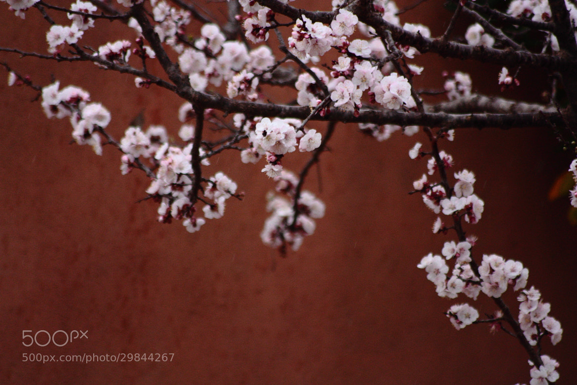 Photograph peach flowers by Rossella Sferlazzo on 500px