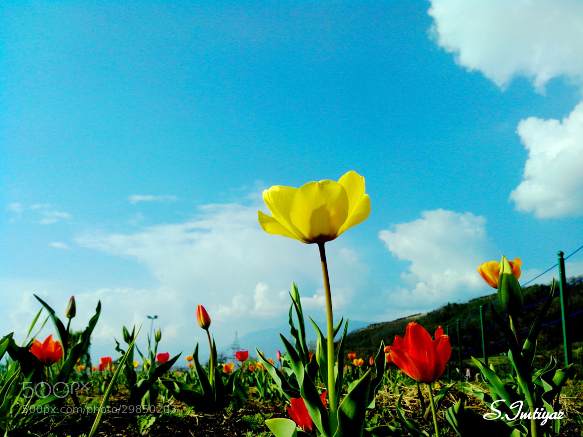 Photograph Tulips by Sheikh Imtiyaz on 500px