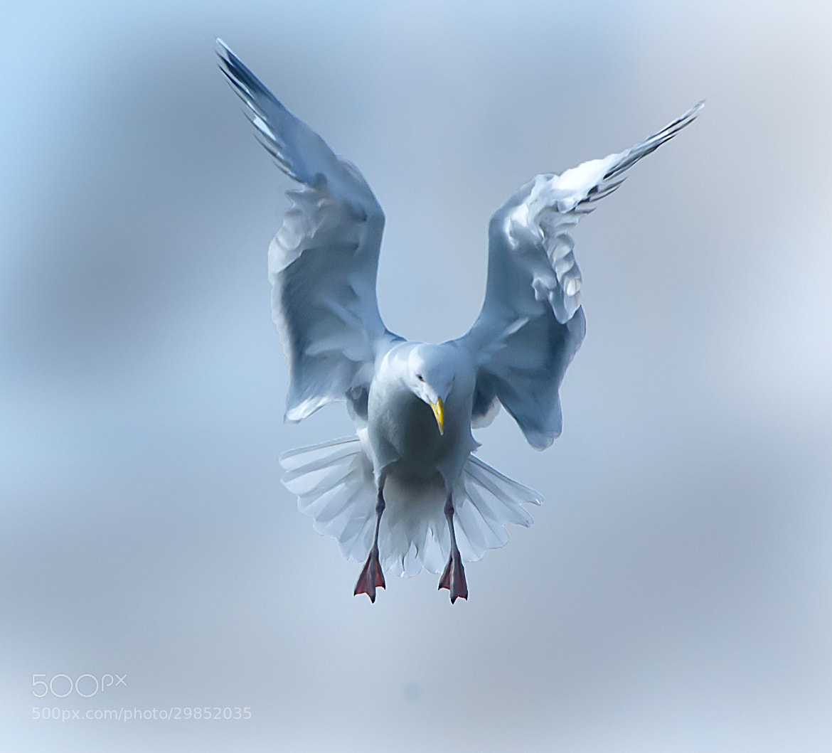 Photograph Angel Wings by DAVID GAHAN on 500px