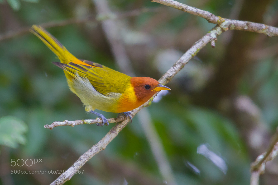 Photograph Rufous-headed Tanager (Hemithraupis ruficapilla) by Bertrando Campos on 500px