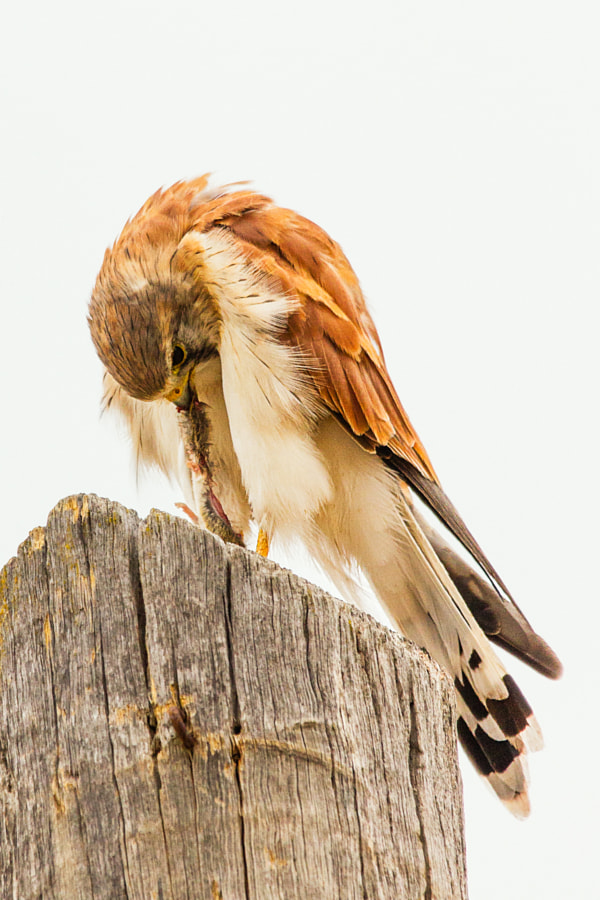 Nankeen Kestral by Paul Amyes on 500px.com