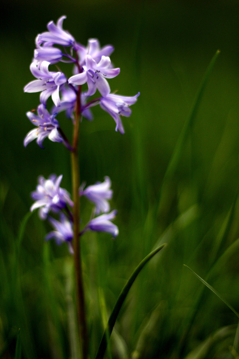 Photograph A Bokeh of Bluebells by Garry Knight on 500px