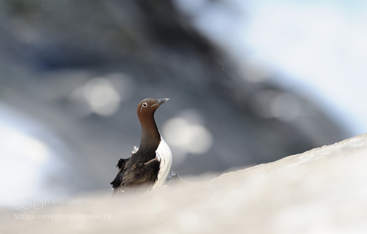 Photograph Common Murre by Kolbjørn Pedersen on 500px