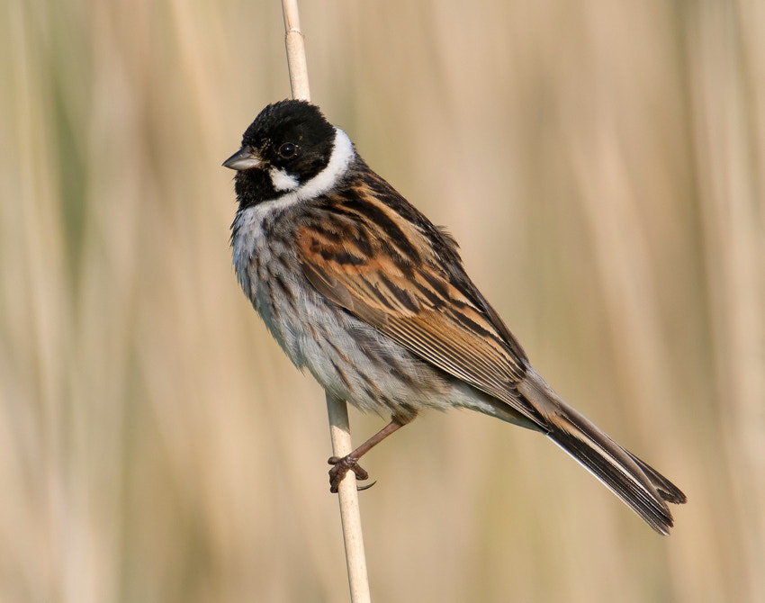 Early morning in the reed next to a bicycle path near my home in the North part of the Netherlands I came across this male Reed Bunting.