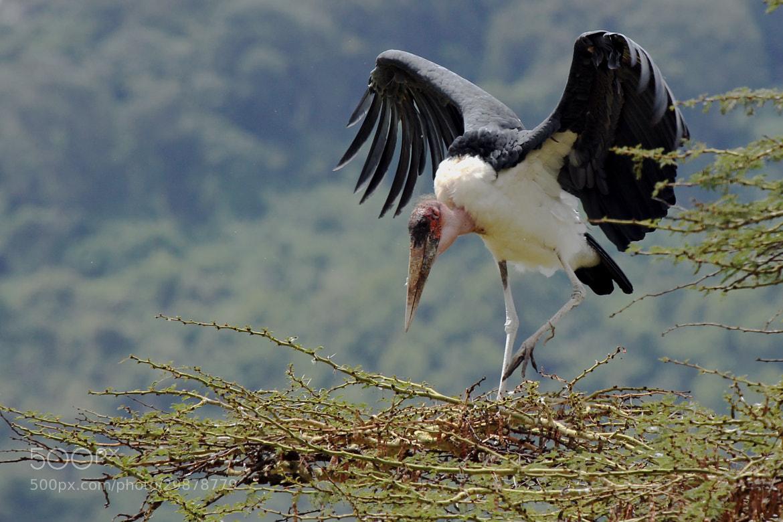 Photograph Marabou Stork by Tony Murtagh on 500px