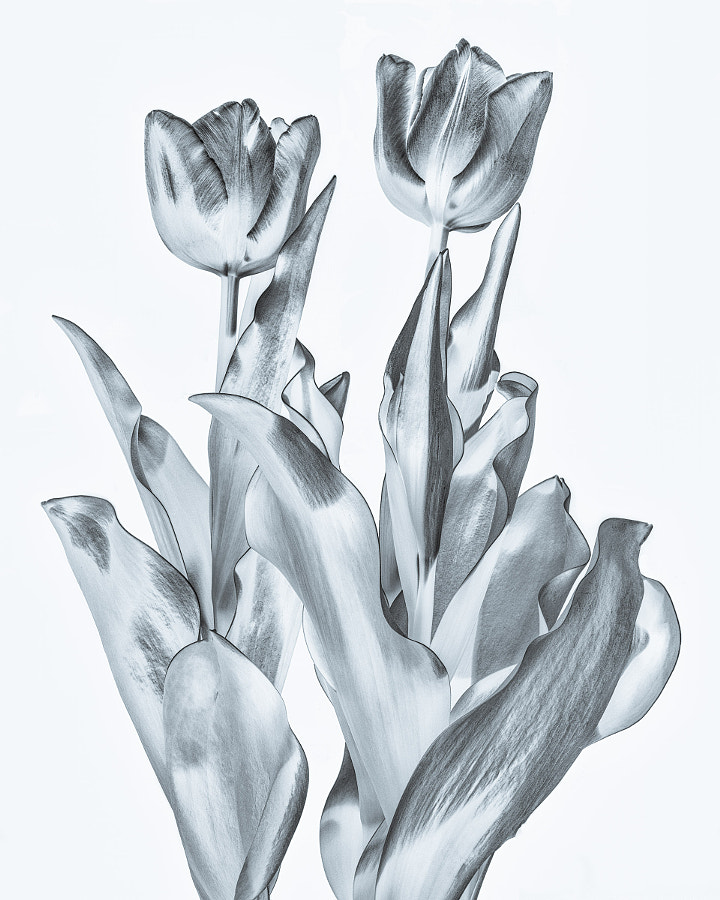Tulips expressed and processed in B/W on a white background.