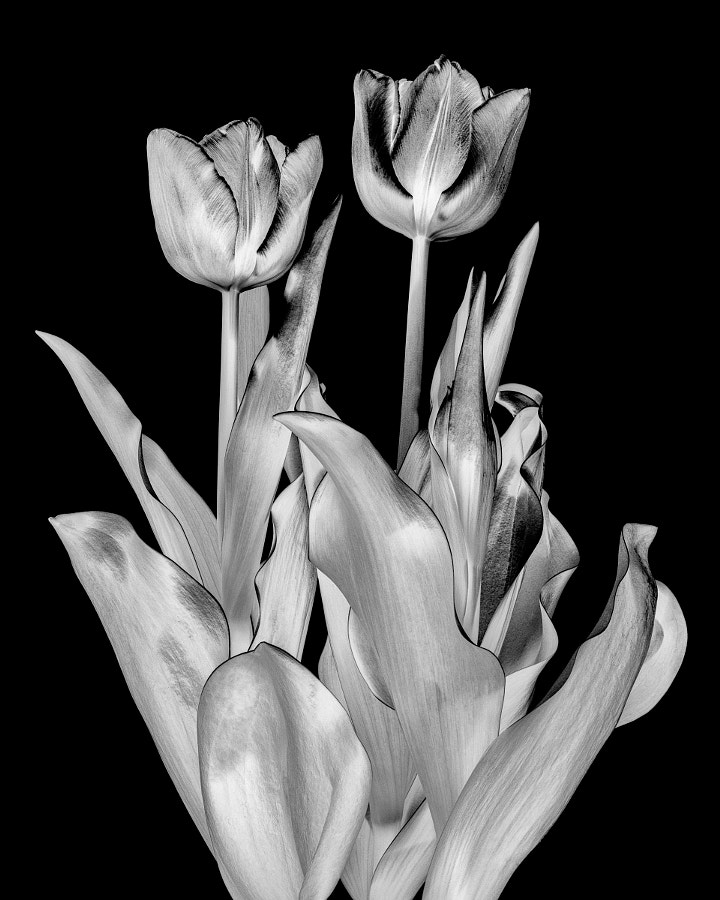 Tulips interpreted in black and white on a black background