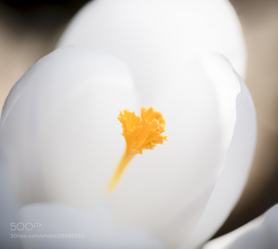 Photograph White Crocus by Richard Kownacki on 500px