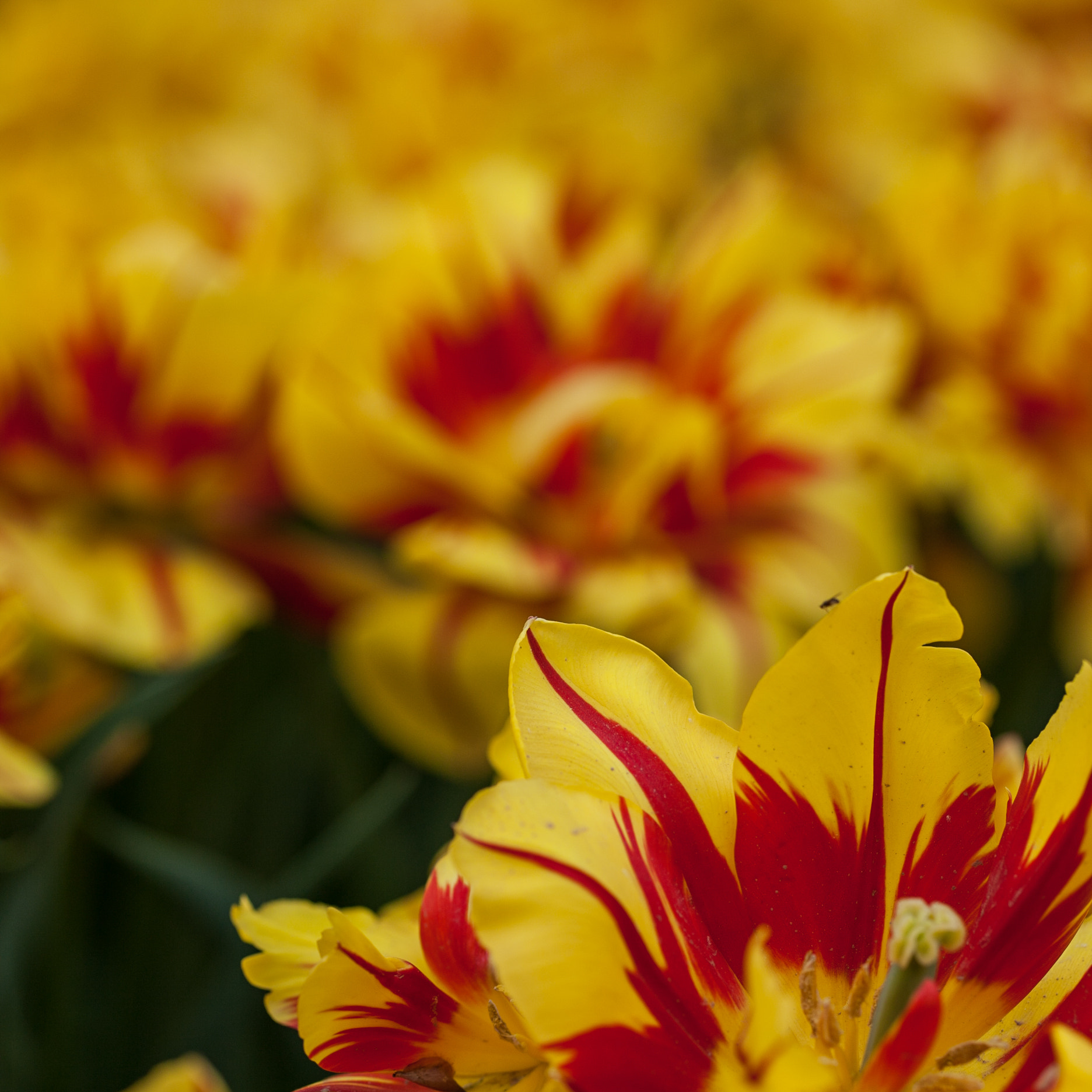 Photograph Oh My!Tulips! by Xiaolin Guan on 500px