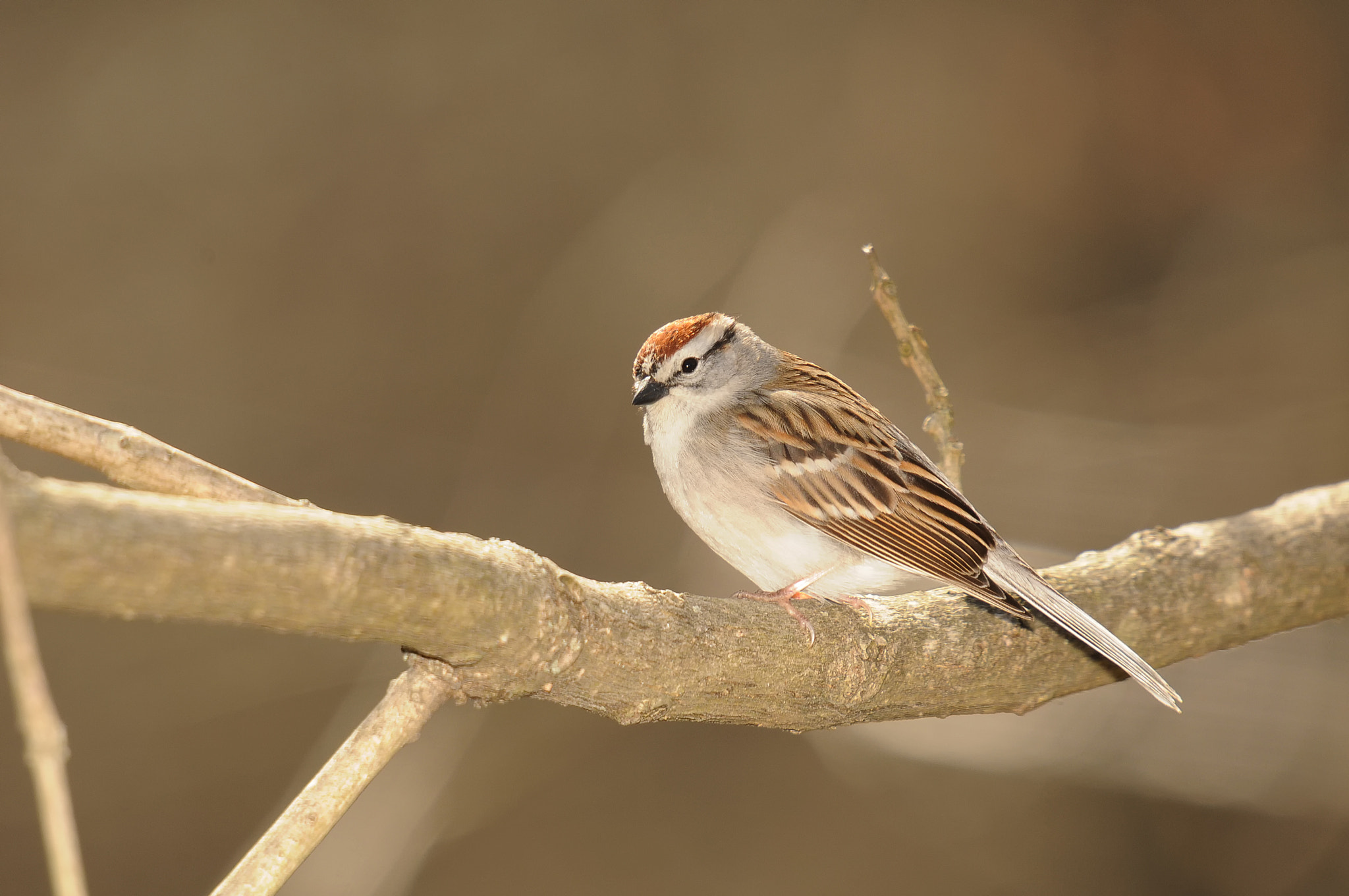 Photograph Sparrow by Mark Kantner on 500px