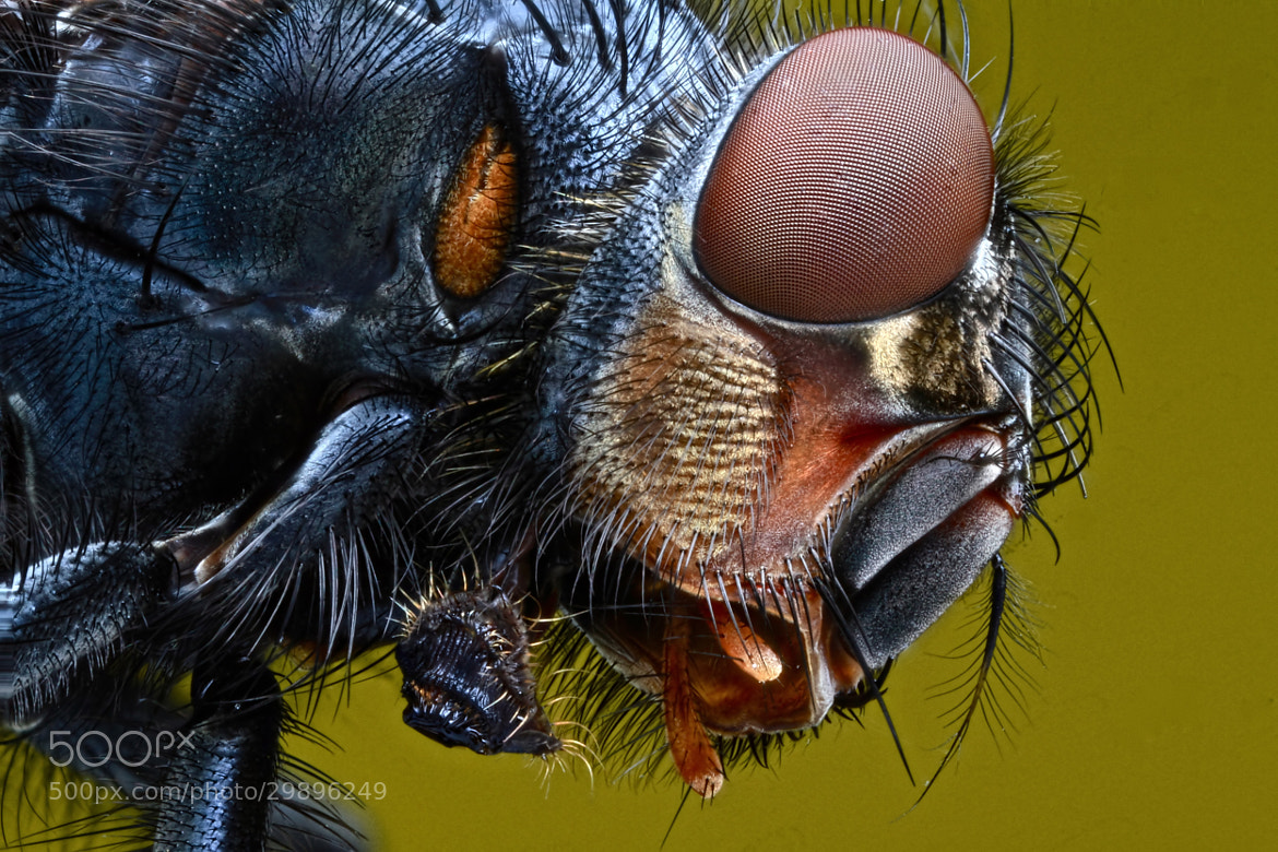 Photograph Bluebottle (Calliphora sp.) by Ron Pilcher on 500px