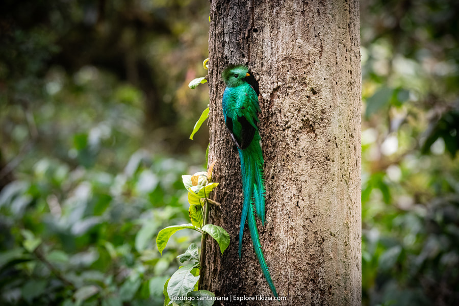 Resplendent Quetzal male by Rodrigo Santamaria on 500px.com