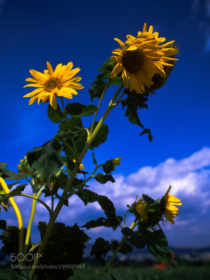 Photograph Sunflower~ by Hoon Lee on 500px