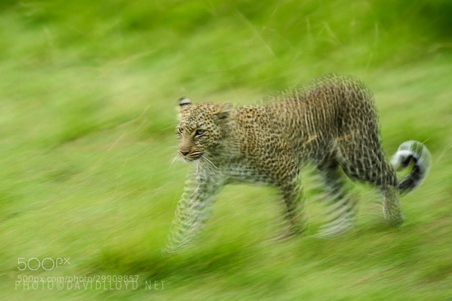 Photograph Leopard Movement by David Lloyd on 500px