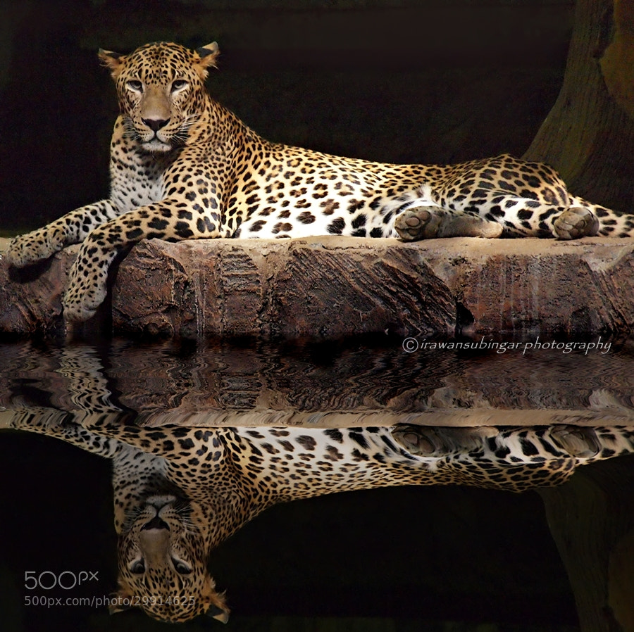 Photograph Panthera pardus Kotiya by Irawan Subingar on 500px