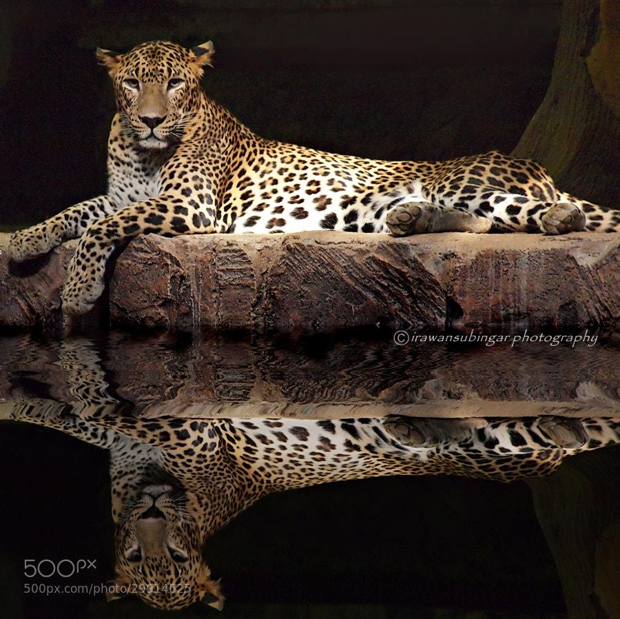 Photograph Panthera pardus Kotiya by Irawan Subingar on 500px