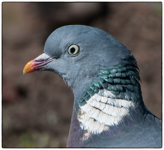 Photograph Wood Pigeon by Cor Pijpers on 500px