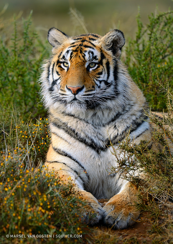 Photograph Panthera Tigris Tigris by Marsel van Oosten on 500px