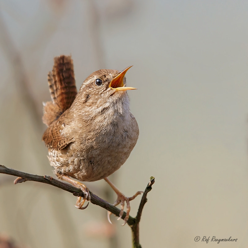 Photograph Northern Wren by Raf Raeymaekers on 500px