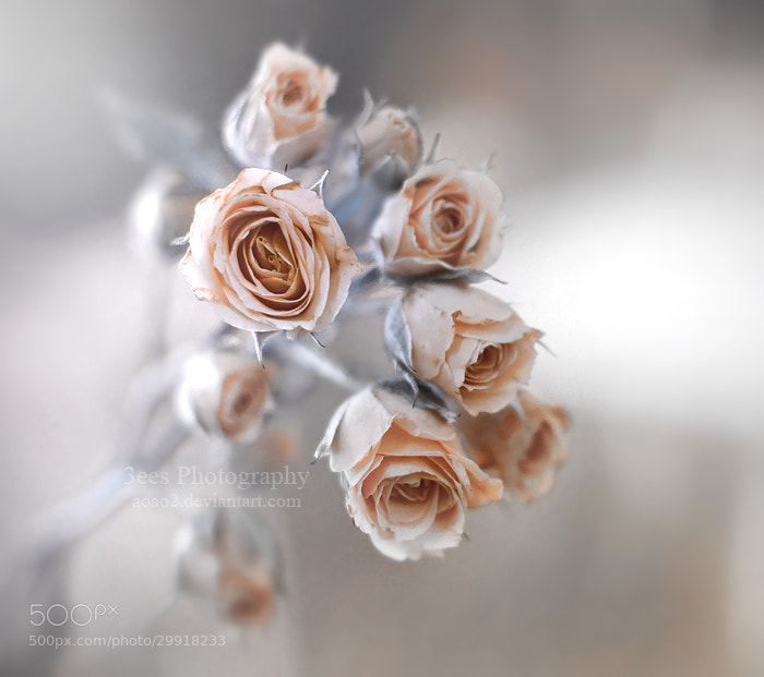 Photograph roses by Essa Al Mazrooei on 500px