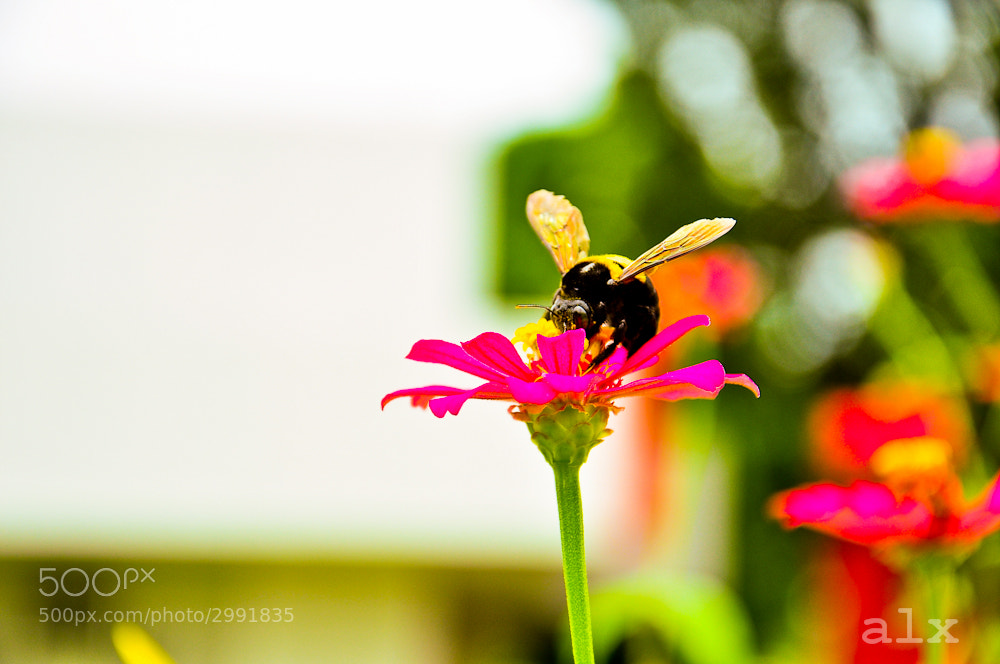 Photograph Bee by Alexes Maat on 500px
