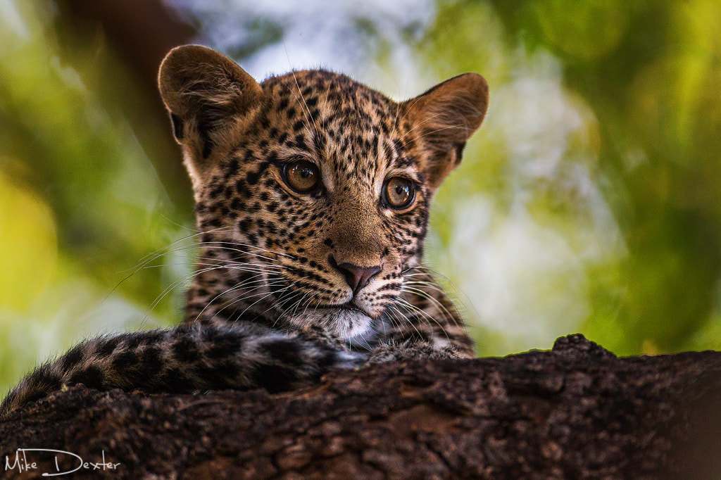 Photograph Leopard cub by Mike Dexter on 500px