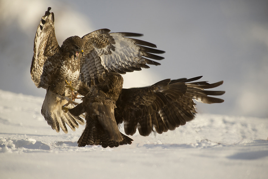 Photograph Common Buzzard fighting by Javier Valladares on 500px