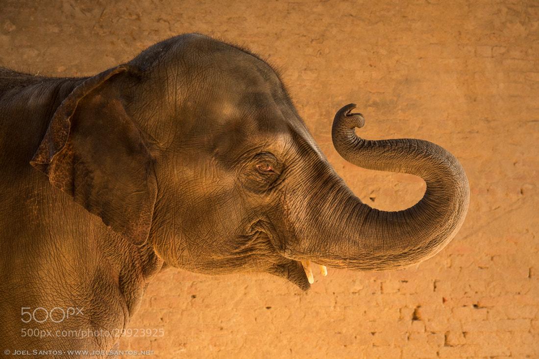 Photograph Golden Elephant by Joel Santos on 500px