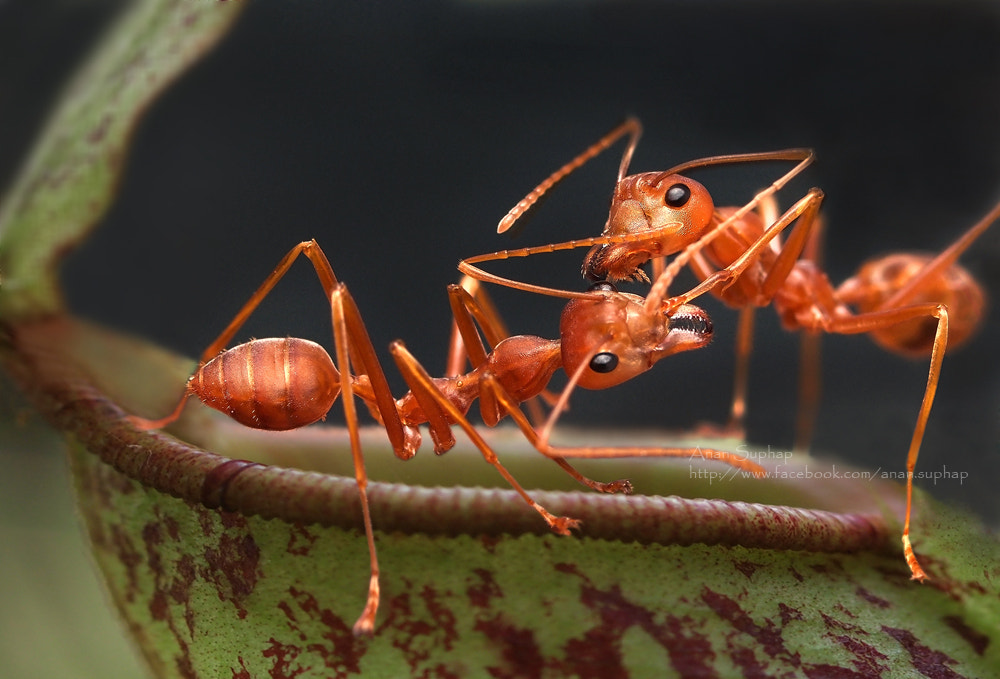Photograph Red Ant by Anan Suphap on 500px