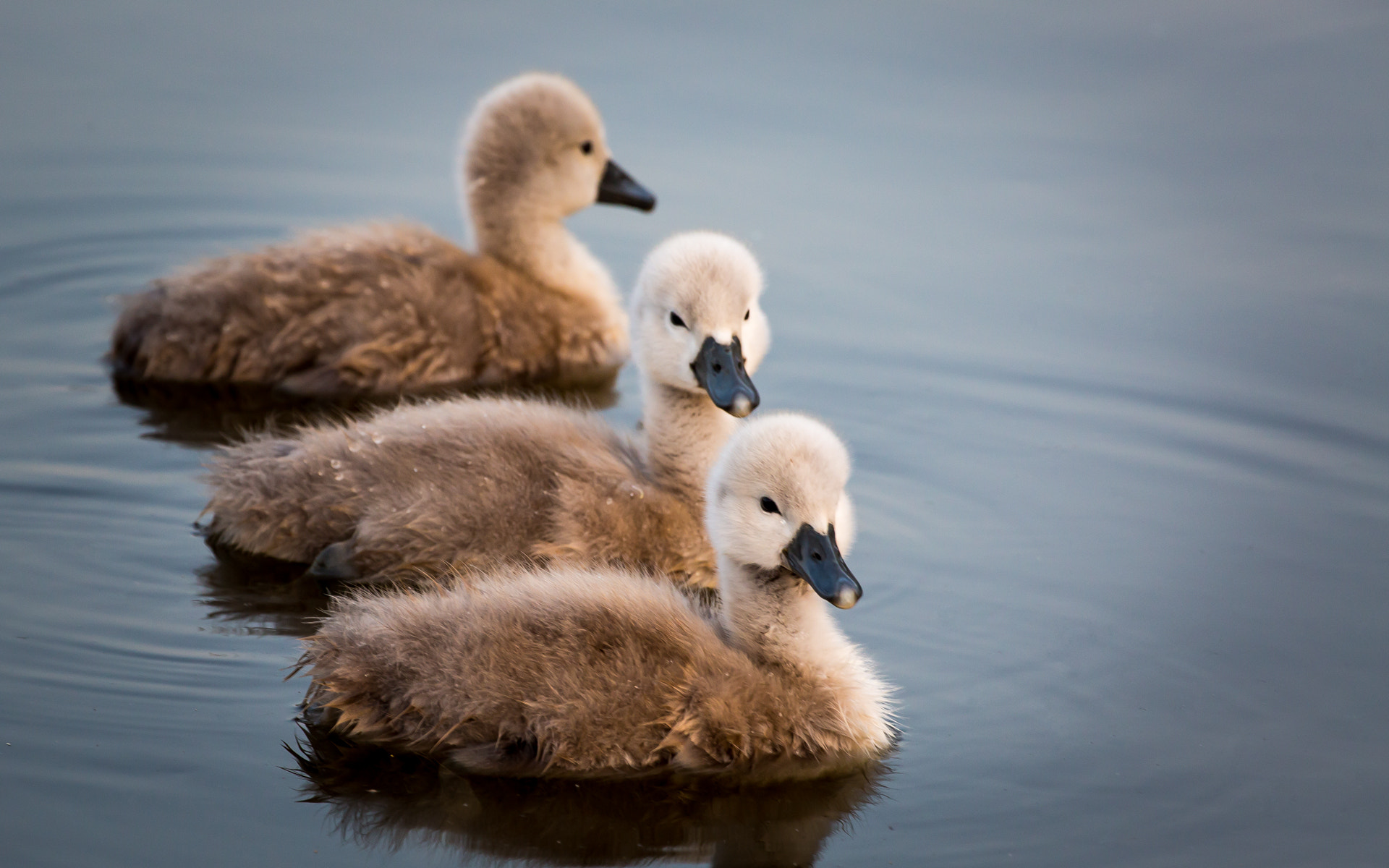 Photograph Cute swan family by Gert-Jan Mes on 500px