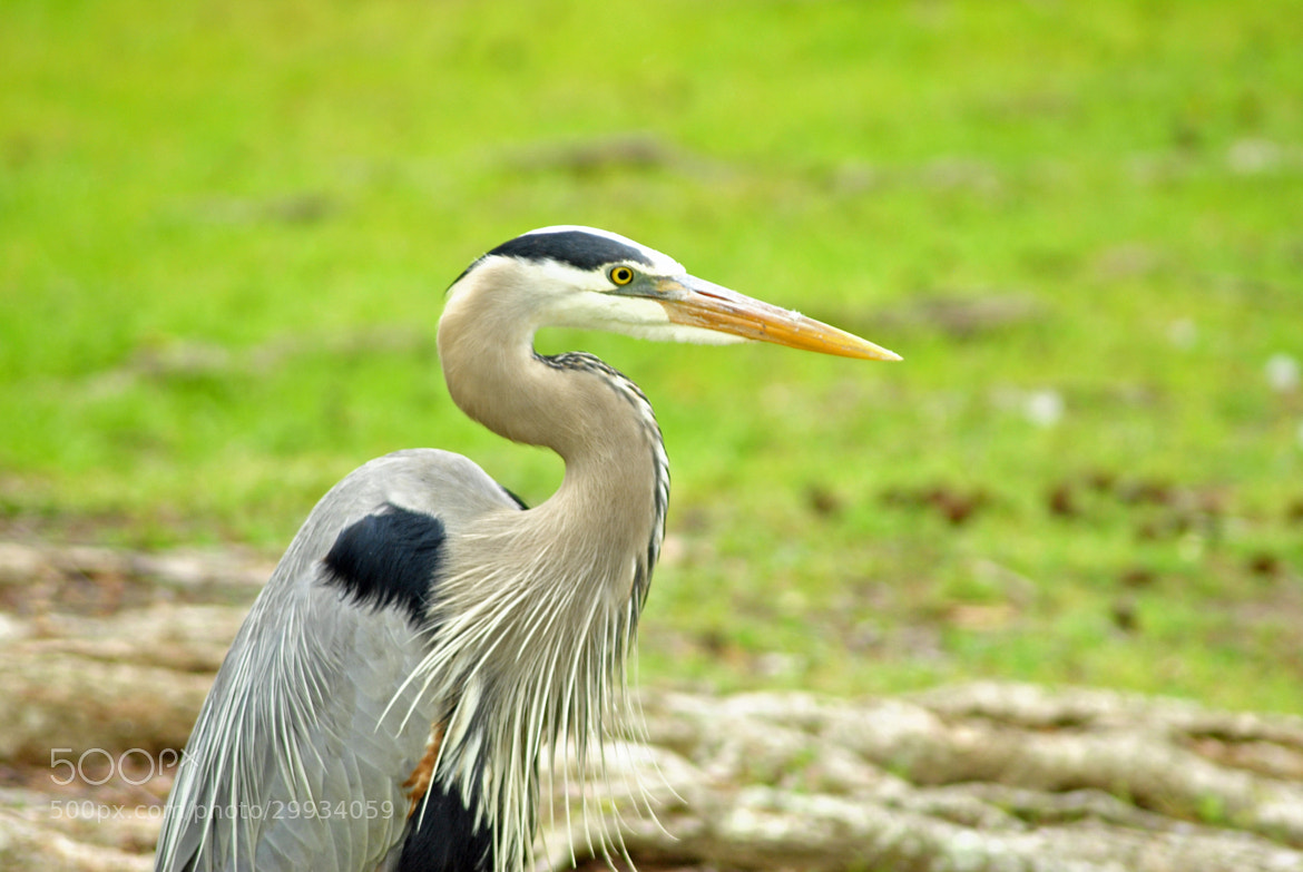 Photograph Great Blue Heron  by Ruth Spicer on 500px