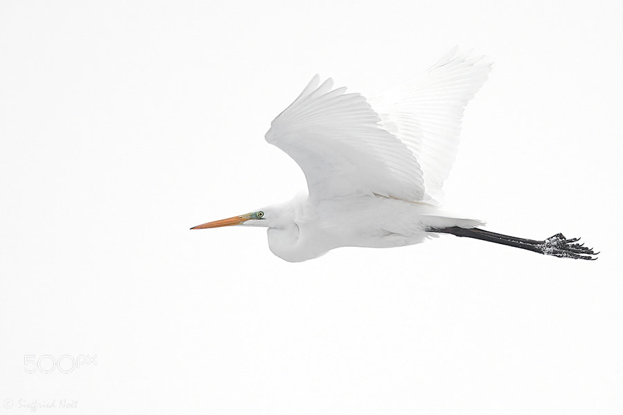 Photograph High-Key Egret by Siegfried Noët on 500px
