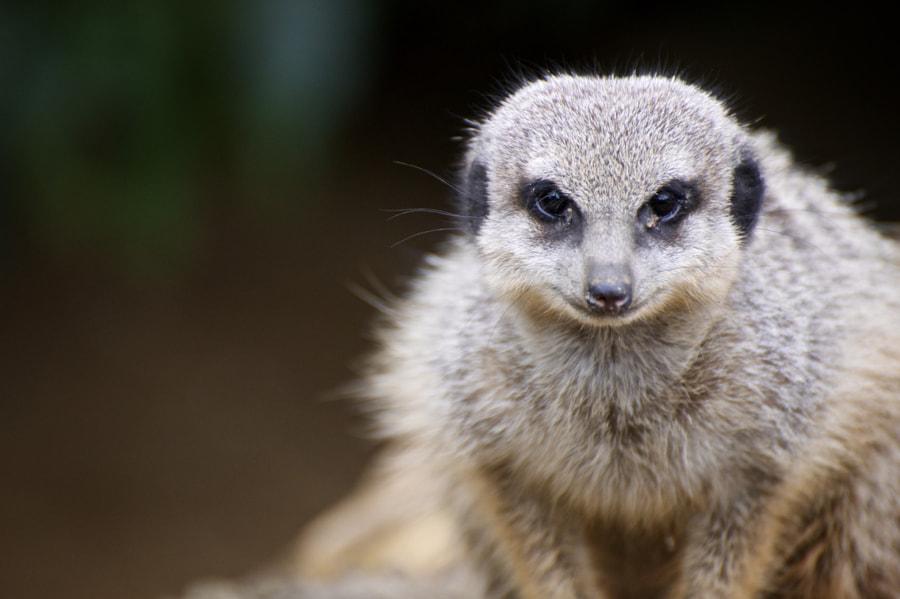 Patient meerkat