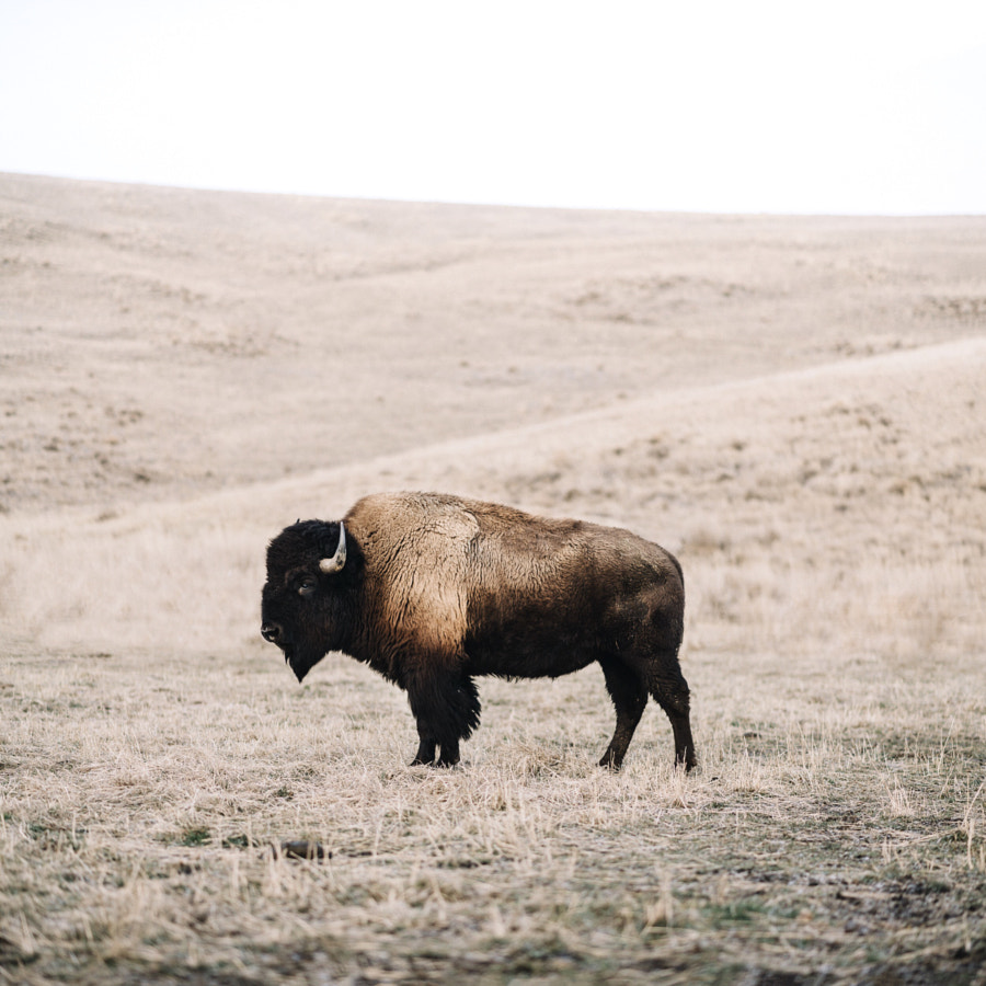 Bison by Tanner Wendell Stewart on 500px.com
